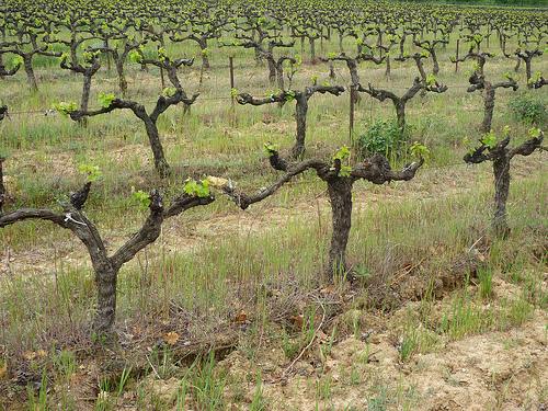 Vigne en avril by gab113