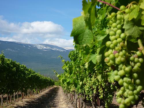 La vigne pousse au pied du Mont-Ventoux by gab113