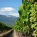 La vigne pousse au pied du Mont-Ventoux par gab113 - Mormoiron 84570 Vaucluse Provence France