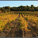Rangées de vignes au couché su soleil par Photo-Provence-Passion - Mormoiron 84570 Vaucluse Provence France