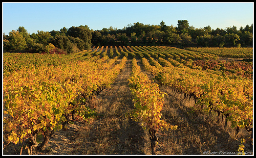 Rangées de vignes au couché su soleil by Photo-Provence-Passion