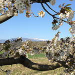 Cerisier en fleurs et Mont-Ventoux by  - Mormoiron 84570 Vaucluse Provence France