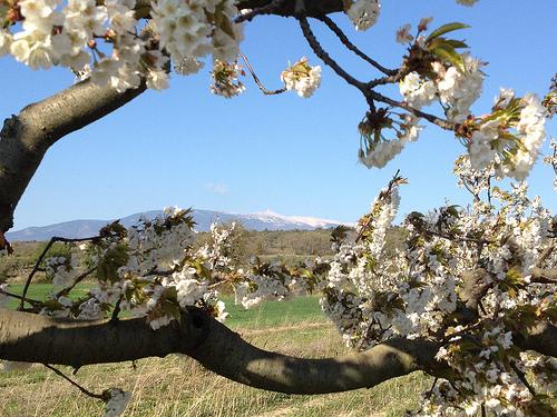 Cerisier en fleurs et Mont-Ventoux par gab113