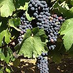 La vigne commence à mûrir by gab113 - Mormoiron 84570 Vaucluse Provence France