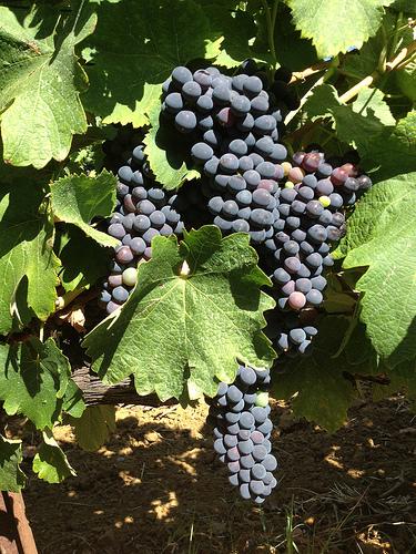 La vigne commence à mûrir by gab113