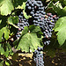 La vigne commence  mrir par gab113 - Mormoiron 84570 Vaucluse Provence France