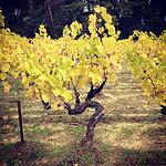 Vigne jaune en automne par gab113 - Mormoiron 84570 Vaucluse Provence France