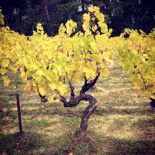 Vigne jaune en automne by gab113
