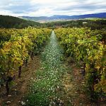 Chemin de fleur blanche et allée de vigne... by gab113 - Mormoiron 84570 Vaucluse Provence France