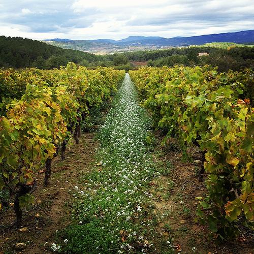 Chemin de fleur blanche et allée de vigne... by gab113