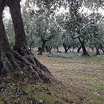 Taille des oliviers dans le Vaucluse par gab113 - Mormoiron 84570 Vaucluse Provence France