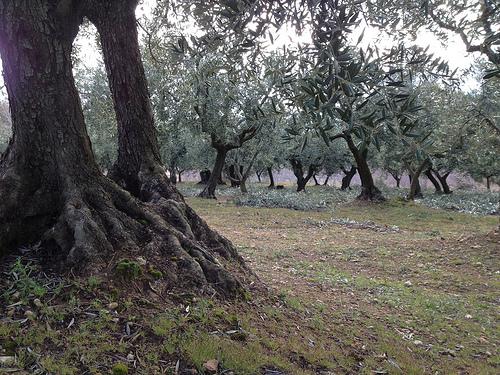 Taille des oliviers dans le Vaucluse par gab113