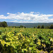 vigne bien verte par loulou.jlou - Mormoiron 84570 Vaucluse Provence France
