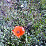 Coquelicot by gab113 - Mormoiron 84570 Vaucluse Provence France