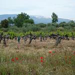 Mont-Ventoux - Vigne et Coquelicots par gab113 - Mormoiron 84570 Vaucluse Provence France