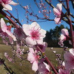 Cerisier en fleur... rose by gab113 - Mormoiron 84570 Vaucluse Provence France