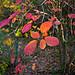 Automne flamboyant par Cpt_Love - Oppède 84580 Vaucluse Provence France