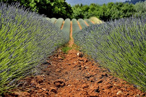 Rangées de lavandins dans la terre ocre de Roussillon by christian.man12
