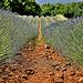 Rangées de lavandins dans la terre ocre de Roussillon par christian.man12 - Roussillon 84220 Vaucluse Provence France