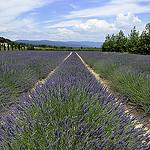 Paysage provençal : lavandin à perte de vue par christian.man12 - Roussillon 84220 Vaucluse Provence France