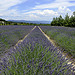 Paysage provençal : lavandin à perte de vue by Boccalupo - Roussillon 84220 Vaucluse Provence France