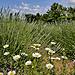 Marguerites et lavandins by Boccalupo - Roussillon 84220 Vaucluse Provence France
