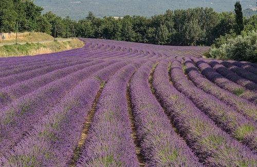 Champs de Lavende près de Roussillon par Patrick Car