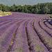 Champs de Lavende près de Roussillon par Patrick Car - Roussillon 84220 Vaucluse Provence France