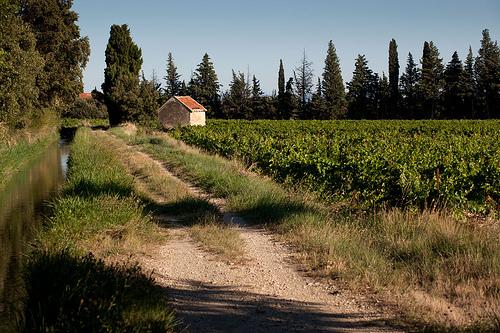 Vigne au pays de Sarrians par den:s