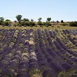 Sault : champs de lavande en violet et blanc par Rémi Avignon - Sault 84390 Vaucluse Provence France