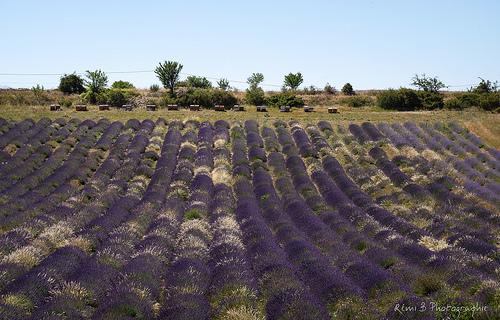 Sault : champs de lavande en violet et blanc par Rémi Avignon
