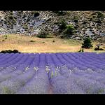 Lavandes en Provence by dubusregis - Sault 84390 Vaucluse Provence France