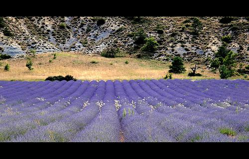 Lavandes en Provence par dubusregis