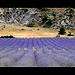 Lavandes en Provence par dubusregis - Sault 84390 Vaucluse Provence France