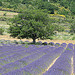 Arbre surveillant le champs de Lavande par gab113 - Sault 84390 Vaucluse Provence France