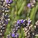 Photo d'abeille qui butine la lavande par Rémi Avignon - Sault 84390 Vaucluse Provence France