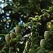 Cèdre - arbre pérenne par . SantiMB . - Sault 84390 Vaucluse Provence France