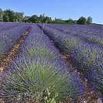 La Lavande bien rangée de Sault par Massimo Battesini - Sault 84390 Vaucluse Provence France
