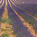 Sault et les lavandes par by_irma - Sault 84390 Vaucluse Provence France