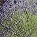 Provence - Explosion de lavande à Sault by Massimo Battesini - Sault 84390 Vaucluse Provence France