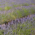 Provence - Champ de lavande à Sault par Massimo Battesini - Sault 84390 Vaucluse Provence France