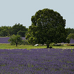 Lavandes : contrastes vert et violet par christian.man12 -   Vaucluse Provence France