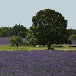 Lavandes : contrastes vert et violet by christian.man12 -   Vaucluse Provence France
