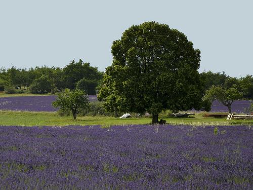 Lavandes : contrastes vert et violet by christian.man12