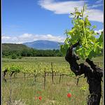 Pied de Vigne sur le Mont Ventoux par redwolf8448 - St. Didier 84210 Vaucluse Provence France