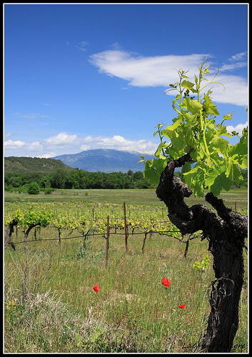 Pied de Vigne sur le Mont Ventoux by redwolf8448