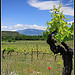 Pied de Vigne sur le Mont Ventoux by  - St. Didier 84210 Vaucluse Provence France