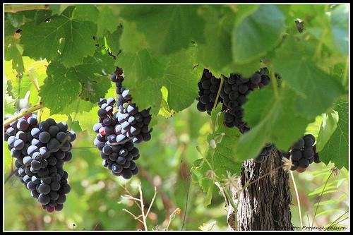 Vigne - Bientôt le temps des Vendanges by redwolf8448