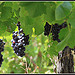 Vigne - Bientt le temps des Vendanges by  - St. Didier 84210 Vaucluse Provence France