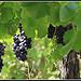 Vigne - Bientôt le temps des Vendanges par redwolf8448 - St. Didier 84210 Vaucluse Provence France